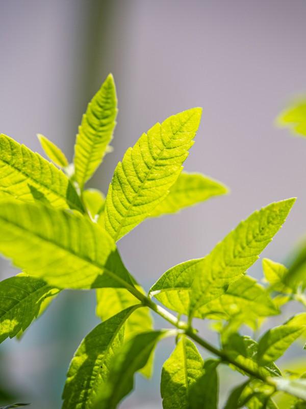 Πράσινα φύλλα Λουίζας