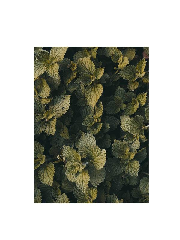 ολόκληρα φύλλα τσουκνίδας